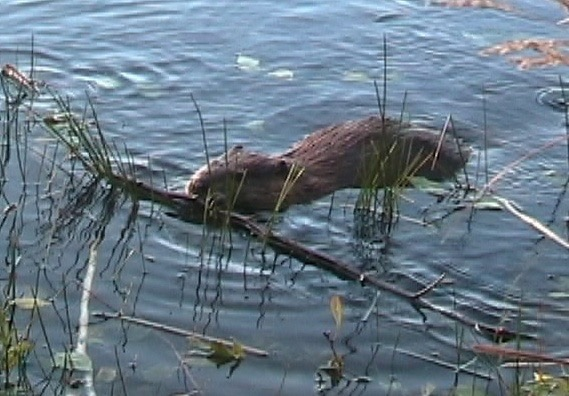 Beaver eating breakfast
