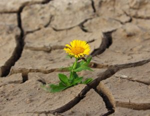Dandelion growing in dried and cracked mud